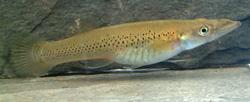 Belonesox belisanus nőstény