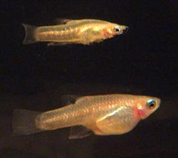 Girardinus metallicus pár