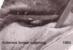 a szerző gyűjteményéből: a nőstény Kribensis a barlang mennyezetére helyezi ikráit.