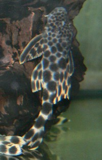 L075 Hypostomus sp.