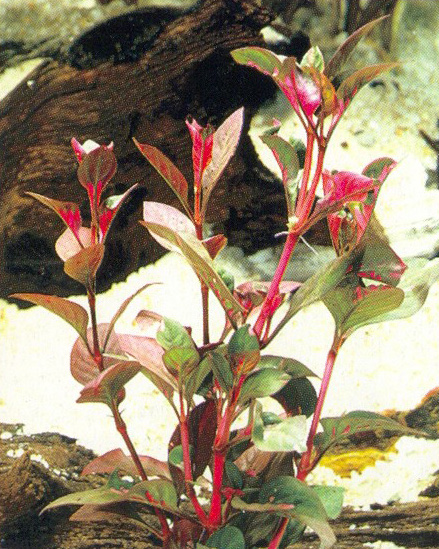 Alternanthera spec. red-round