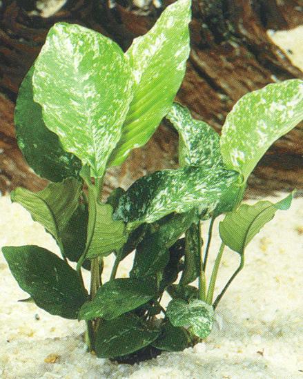 Anubias barteri variegated