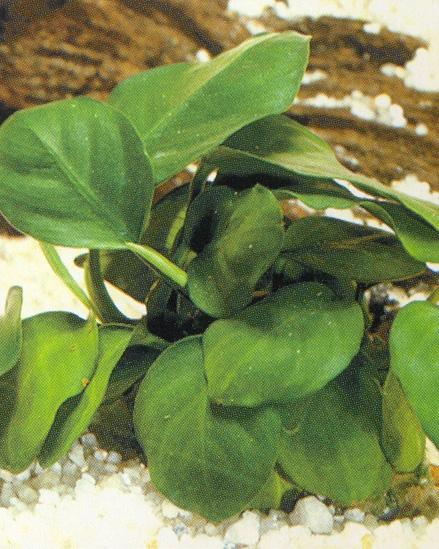 Anubias nana 'round leaf'