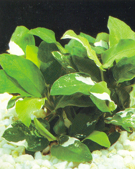 Anubias nana variegated