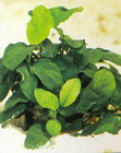 Anubias nana 'wrinkled leaf'