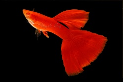 full red guppy